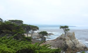 The 250-year old Lone Cypress Tree at Pebble Beach.