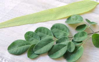Eucalyptus leaf side by side moringa leaves